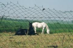 img161 27.5.04 Come in ogni viaggio foto a 2 cavalli, 'portano buono'.